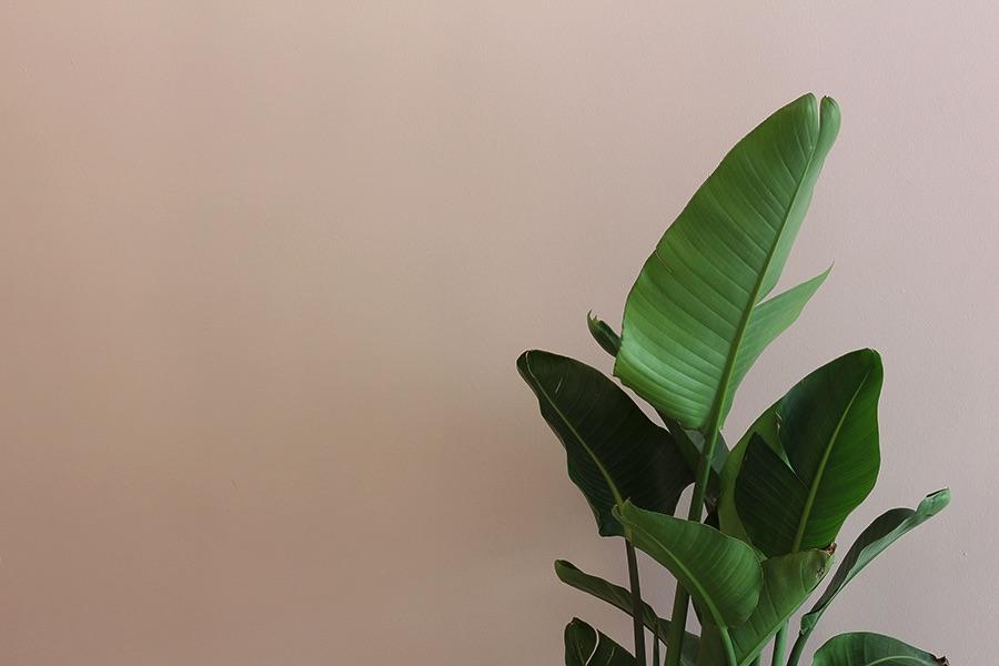 pianta verde su muro rosa